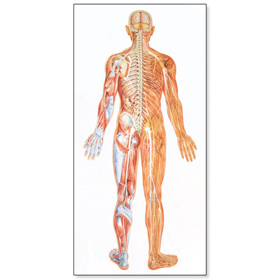 V2038U: The Nervous System Chart, rear