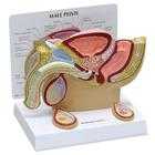 Male Pelvis Model with Testicles, 1019565, Genital and Pelvis Models