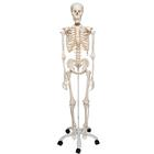 Skeleton Model - Stan, 1020171 [A10], Skeleton Models - Life size