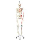 Skeleton Model with Painted Muscle Origins and Inserts - Max - Hanging Stand, 1020174 [A11/1], Skeleton Models - Life size