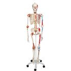 Human Skeleton Model Sam with Muscles & Ligaments - 3B Smart Anatomy, 1020176 [A13], Skeleton Models - Life size