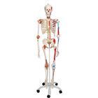 A13: Super Skeleton Model - Sam