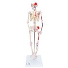 Mini Human Skeleton - Shorty - with painted muscles, pelvic mounted, 1000044 [A18/5], Mini Skeleton Models