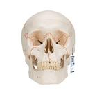 Numbered Human Classic Skull Model, 3 part, 1020165 [A21], Human Skull Models