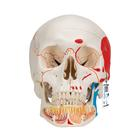 Classic Human Skull Model with Opened Lower Jaw, 3 part, painted, 1020167 [A22/1], Human Skull Models