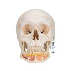 Classic Human Skull Model, with Opened Lower Jaw, 3 part, 1020166 [A22], Human Skull Models