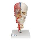 BONElike™ Human Skull Model, Half Transparent & Half Bony- Complete with  Brain and Vertebrae, 1000064 [A283], Vertebra Models