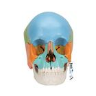 Beauchene Adult Human Skull Model - Didactic Colored Version, 22 part, 1000069 [A291], Human Skull Models