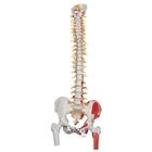 Deluxe Flexible Spine Model with Femur Heads, Painted Muscles & Sacral Opening - 3B Smart Anatomy, 1000127 [A58/7], Human Spine Models
