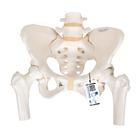 Human Pelvis Skeleton Model, Female with Movable Femur Heads - 3B Smart Anatomy, 1000135 [A62], Genital and Pelvis Models