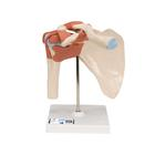 Deluxe Functional Shoulder Joint Model,A80/1