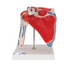 Shoulder Joint with Rotator Cuff -  5 part,A880