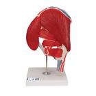 Hip Joint with Removable Muscles, 7 part,A881