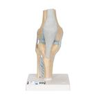 Sectional Knee Joint Model, 3 part,A89