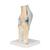 Sectional Human Knee Joint Model, 3 part - 3B Smart Anatomy, 1000180 [A89], Joint Models (Small)