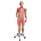 3/4 Life-Size Female Muscle Model on a metal stand without internal organs, 23-part, 1013882 [B51], Muscle Models