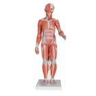 1/2 Life-Size Complete Human Female Muscle Figure, without Internal Organs, 21 part - 3B Smart Anatomy, 1000211 [B56], Muscle Models