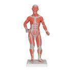 1/3 Life-Size Muscle Figure, 2-part, 1000212 [B59], Muscle Models
