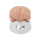 Introductory Human Brain Model, 2 part - 3B Smart Anatomy, 1000223 [C15/1], Brain Models