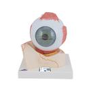 Human Eye Model, 5 times Full-Size, 7 part - 3B Smart Anatomy, 1000256 [F11], Eye Models