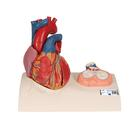 Magnetic Heart model, life-size, 5 parts,G01