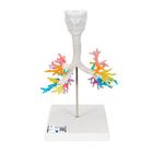 CT Bronchial Tree Model with Larynx - 3B Smart Anatomy, 1000274 [G23], Lung Models