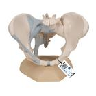 Female Pelvis Skeleton Model with Ligaments, 3 part - 3B Smart Anatomy, 1000286 [H20/2], Genital and Pelvis Models