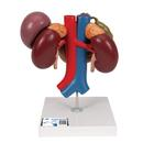 Human Kidneys Model with Rear Organs of Upper Abdomen, 3 part - 3B Smart Anatomy, 1000310 [K22/3], Digestive System Models