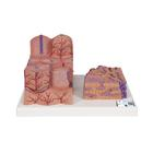 3B MICROanatomy™ Liver Model - 3B Smart Anatomy, 1000312 [K24], Microanatomy Models