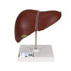 Liver with Gall Bladder, 1014209 [K25], Digestive System Models