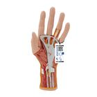 Life-Size Hand Model with Muscles, Tendons, Ligaments, Nerves & Arteries, 3 part - 3B Smart Anatomy, 1000349 [M18], Arm and Hand Skeleton Models