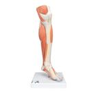 Life-Size Lower Muscle Leg Model with Detachable Knee, 3 part - 3B Smart Anatomy, 1000353 [M22], Muscle Models