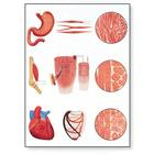 Muscle Tissue Chart, 4006551 [V2052U], Muscle