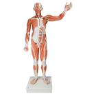 Life size Male Muscular Figure, 37-part, 1001235 [VA01], Muscle Models