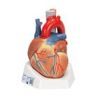 Human Heart Model, 7 part - 3B Smart Anatomy, 1008548 [VD253], Human Heart Models