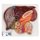 Liver with Gall Bladder, Pancreas and Duodenum, 1008550 [VE315], Digestive System Models