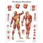 Human Muscle Chart, 1001470 [VR1118L], Muscle