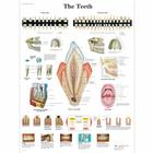 The Teeth Chart,VR1263UU