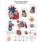 The human heart Chart - Anatomy and Physiology, 1001524 [VR1334L], Heart Health and Fitness Education