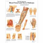 Clinically Important Blood Vessel and Nerve Pathways Chart, 4006682 [VR1359UU], Cardiovascular System