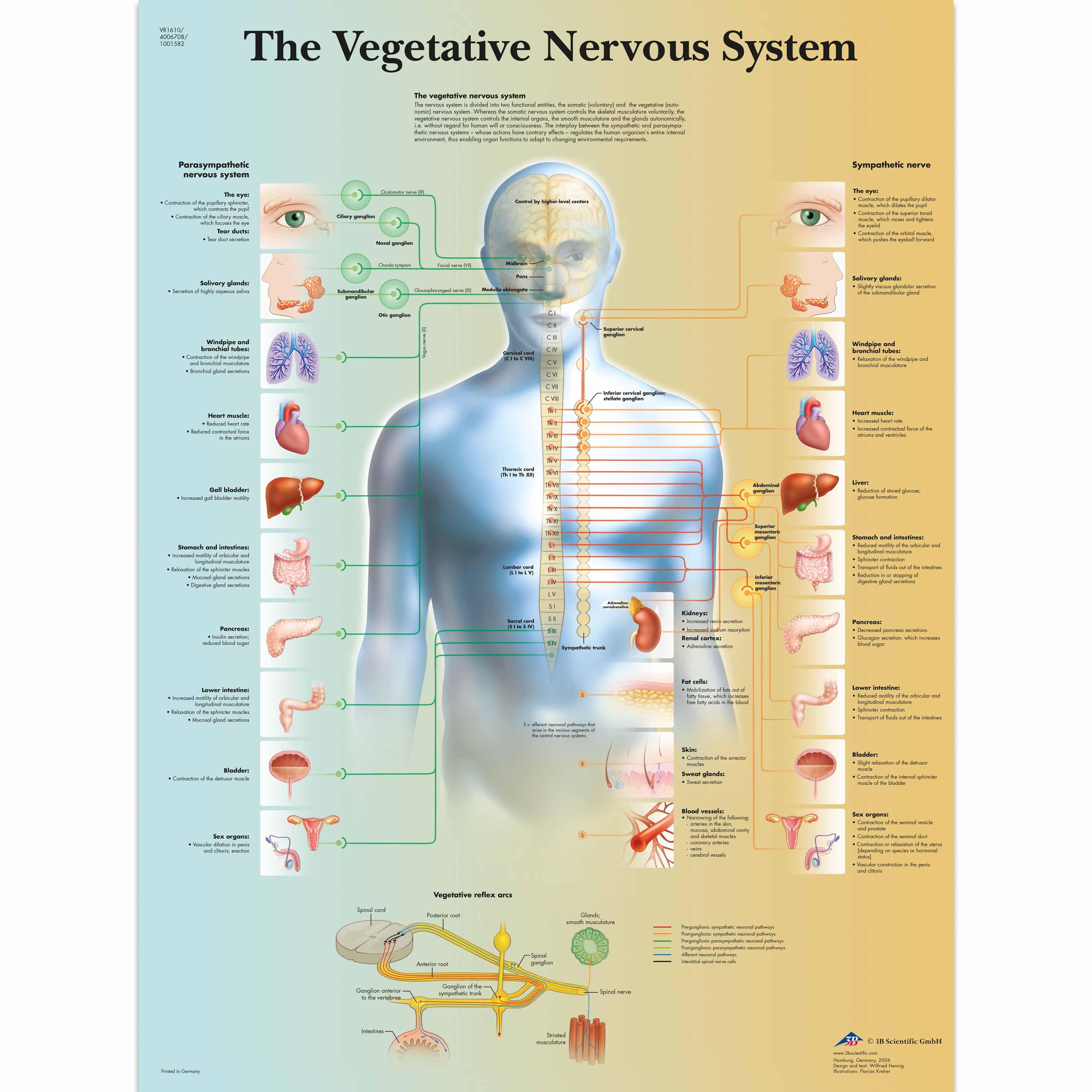 Anatomical Charts And Posters Anatomy Charts Vegetative Nervous