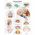 Human Brain Chart, 1001584 [VR1615L], Brain and Nervous system