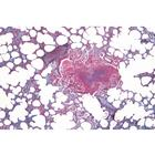 Histology of Mammalia, Elementary Set - Portuguese Slides, 1004076 [W13306P], Zoological histology