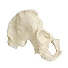 ORTHObones Premium Right Half Pelvis - Male, 1005119 [W19123], 3B ORTHObones Premium